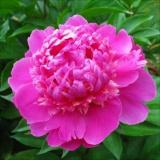 Пионы: идеальные цветы в теплый сезон