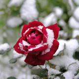 Какие цветы дарить зимой