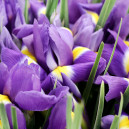 Букет цветов из 101 ириса в упаковке