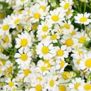 Букет цветов из 31 ромашки